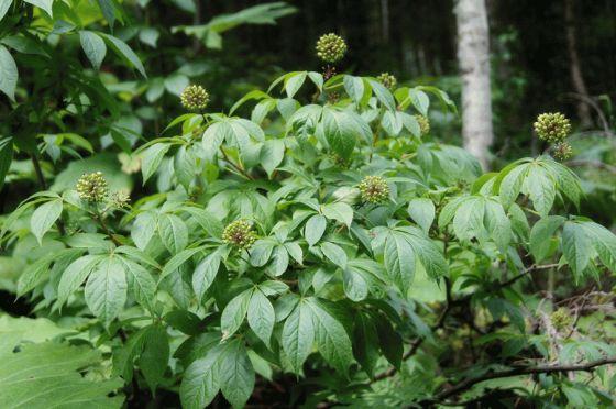 Ciwujia Root or Siberian Ginseng